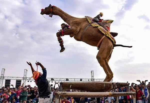 About Camel Festival